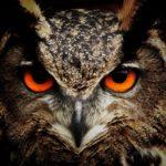 Photo of an owl's face
